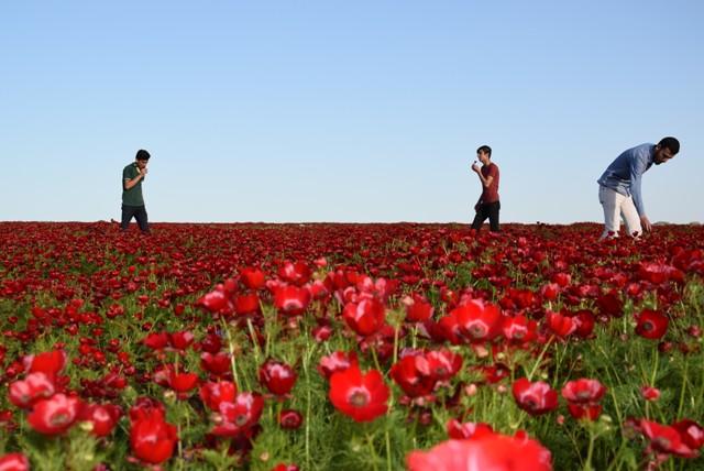 Şanlıurfa'nın Viranşehir ilçesinde de baharla birlikte boş arazilerdeki gelincikler çiçek açtı. Kırmızı, beyaz ve sarı renkteki gelincikler, ilçeyi adeta kızıla boyadı.