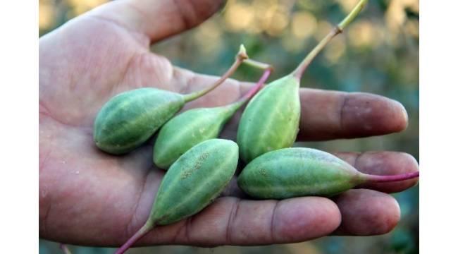 Doğadaki sağlık deposu bitki 'Kapari'
