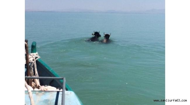 Göle atlayan kurbanlıklar kementle yakalanabildi
