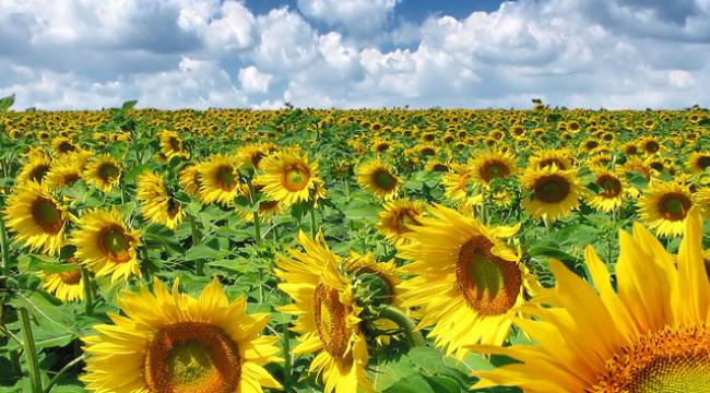 Şanlıurfa'da Üretilen Ayçiçeği Miktarı açıklandı