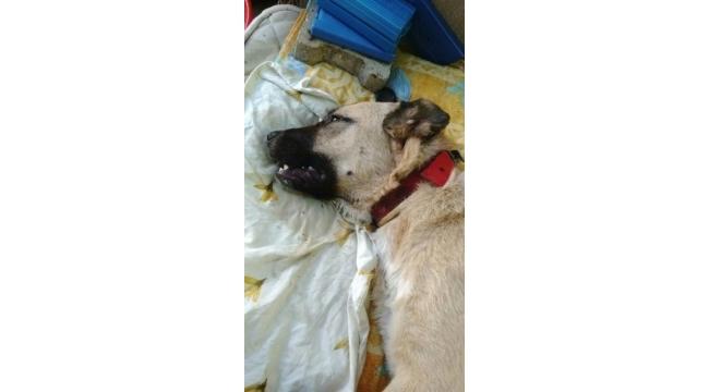 Zehirlenen köpek acı içinde öldü