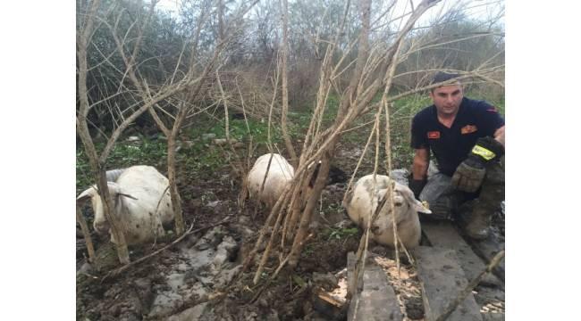 Bataklığa saplanan koyun sürüsünü itfaiye kurtardı