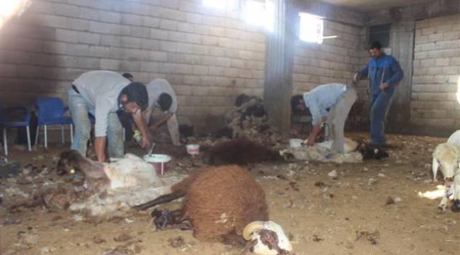 Besiciler koyunları kırkmaya başladı