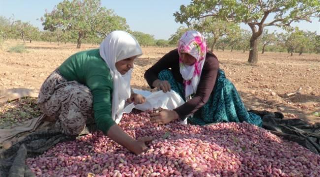 Milli Tarım Projesi ile de Fıstık destekleme kapsamına alınmadı