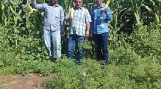 Şanlıurfa'daki mısırlar toprak yapısından heba oldu