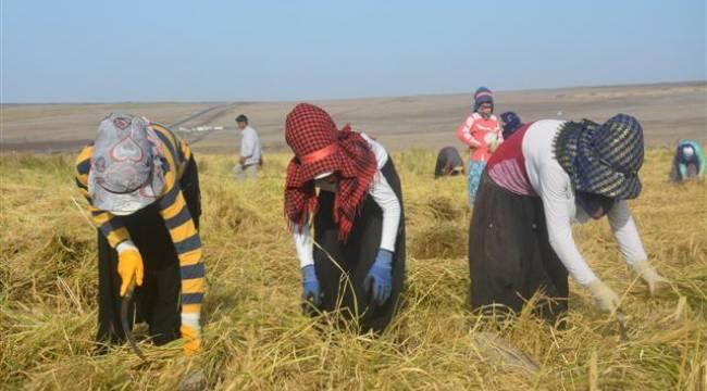 Şanlıurfa kadın çeltikçilere 30 lira yevmiye