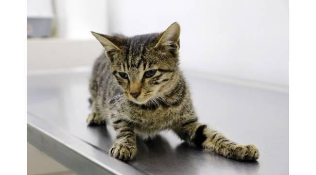 Tecavüze ve işkenceye uğrayan kedi, yaşam savaşı veriyor