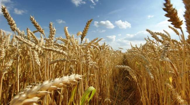 Urfa'da Buğday verimi arttı