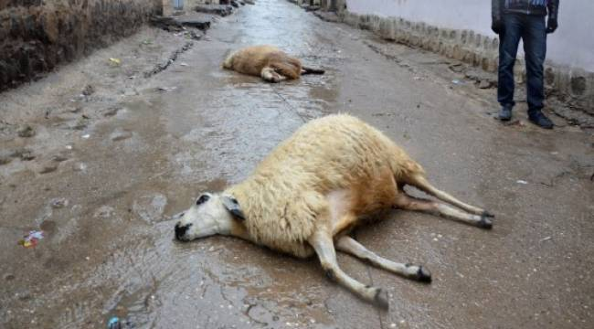 Elektrik telleri 2 koyunu telef etti
