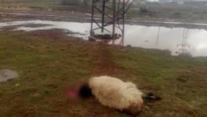 Koyunlar telef oldu