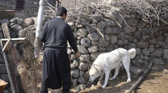 Boynuna ip dolanan köpek sakinleştirici iğneyle kurtarıldı