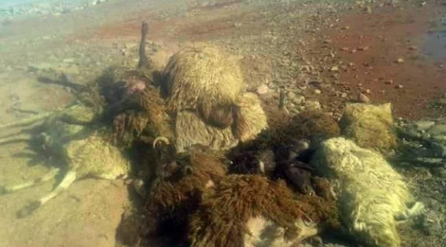 Çoban Köpeği 21 Koyun'u telef etti