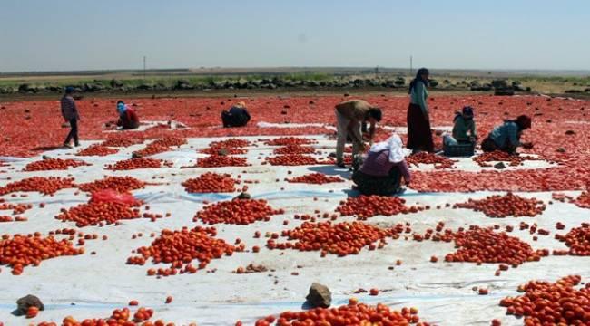 Çiftçiler domates için fabrikalar ve pazar kurulmasını istiyor