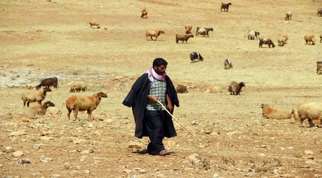 Urfa'da kurtlar koyun sürüsüne saldırdı