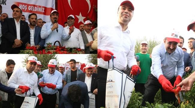 AK Parti Genel Başkan Yardımcısı Urfa'da İsot Hasat Etti