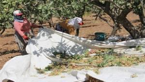 Rekolte Urfa'da düştü, Siirt'te Arttı