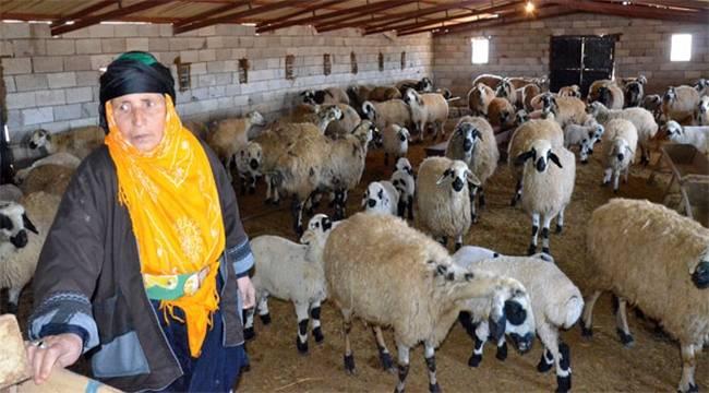 Şanlıurfa'daki Koyun Sayısı Açıklandı