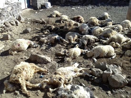 Urfa'da kurt sürüsü 40 koyunu telef etti