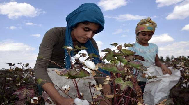 Yaşıtları okula giden çocuklar pamuk tarlasında çalışıyor