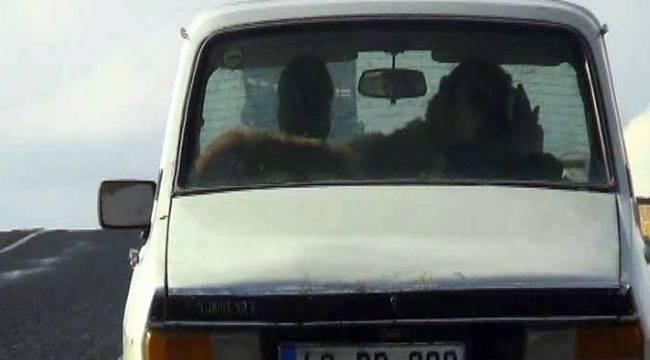 Çoban köpeğinin otomobilde seyahat keyfi