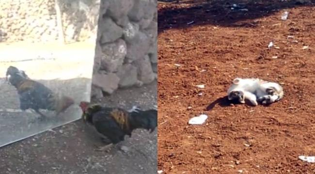 Urfa'da sevimli hayvanların ilginç görüntüleri