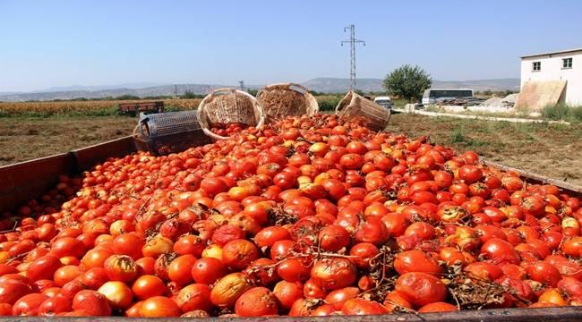 Şanlıurfa'da ne kadar salçalık domates üretildi ?