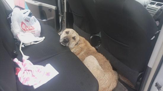 Otomobile giren inatçı sokak köpeği zorla çıkarıldı
