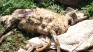 Başıboş köpekler koyun sürüsüne saldırdı
