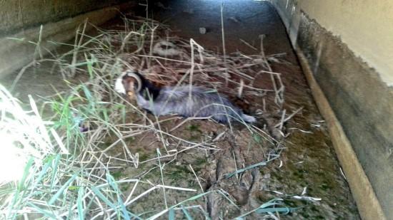 Çamura saplanan keçi itfaiye tarafından kurtarıldı