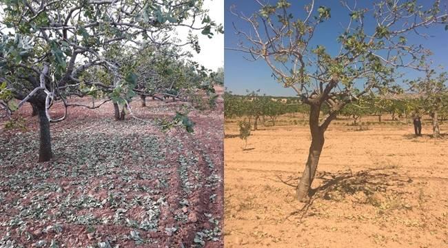 Fıstık Ağaçları Neden Yaprak Döküyor ?