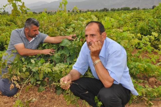 Şanlıurfa'dan sonra Gaziantep'te de üzüm bağları kurumaya başladı
