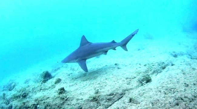 Ege Denizinde Görülen Köpek Balıklarının Sırrı Ortaya Çıktı