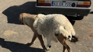 Sıcakta köpeğe kuzu postu giydirdiler