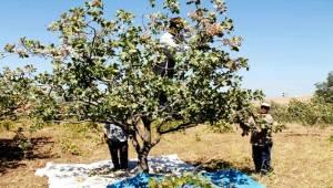Bıttım ve Menengiç Ağaçlarını Ekonomiye Kazandırdılar