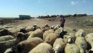 Çobanların sıcakla imtihanı