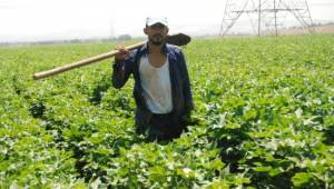 Pamukta verimi arttıran sıcak hava çiftçileri ise zorluyor