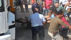 Urfa'da Kaçan Kurbanlıklar Zor Anlar Yaşattı