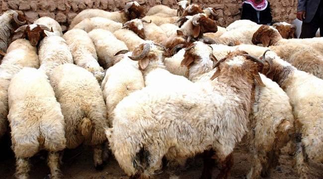Urfa'daki Koyun Sayısı Açıklandı