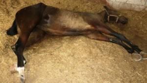 Şanlıurfa'da yarış atı ölümleri sürüyor