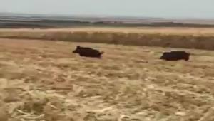 Siverek'te Domuzlar Mısır Tarlalarına Dadandı