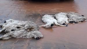 Suruç'ta yaşanan sel nedeniyle hayvanlar telef oldu