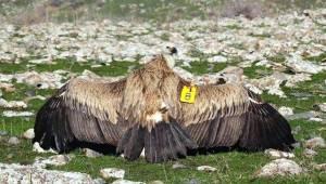 Kızıl Akbaba Tedavi Sonrası Doğaya Bırakıldı