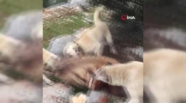 Adıyaman'da Kan Donduran Görüntüler... Kırmızı Listedeki Çizgili Sırtlanı Köpeklere Parçalattılar
