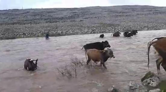 Dereden geçen sürü sular yükselince zor anlar yaşadı