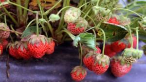 Osmanlı Çileği İlk Meyvelerini Verdi