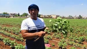 Urfa'da pamuk üreticilerihaşerelerden dertli