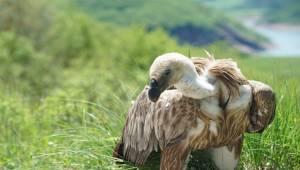 Şanlıurfa'da Bulunan Kızıl Akbabalar Belgrad'a Ulaştırıldı