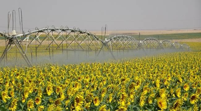 TİGEM'de Araziler Sarıya Boyandı