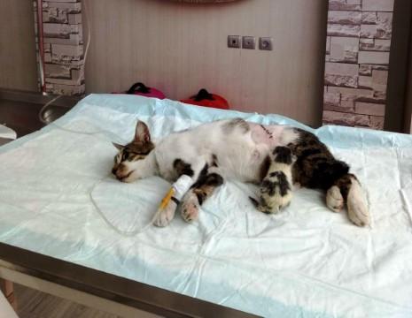 Doğum yapamayan kediye sezaryen operasyonu
