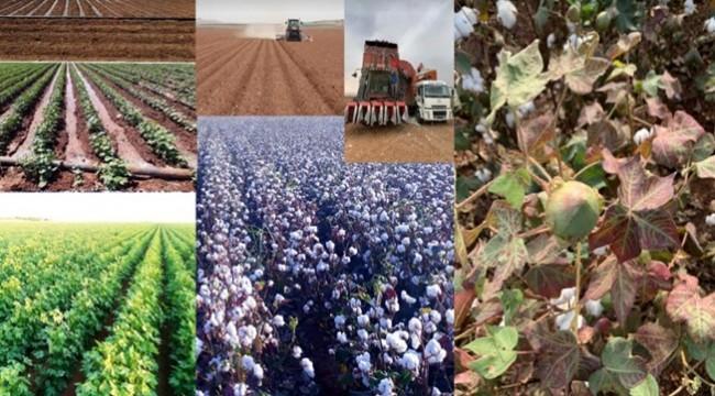 Pamuk Çiftçisi Yeni Bir Şok Yaşıyor